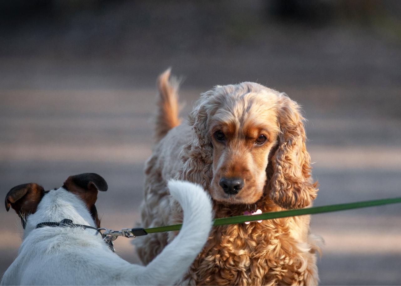 Инфекционный кашель собак очень заразен